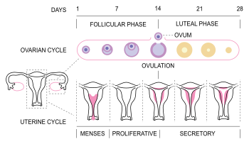 MenstrualCycle3_en.svg